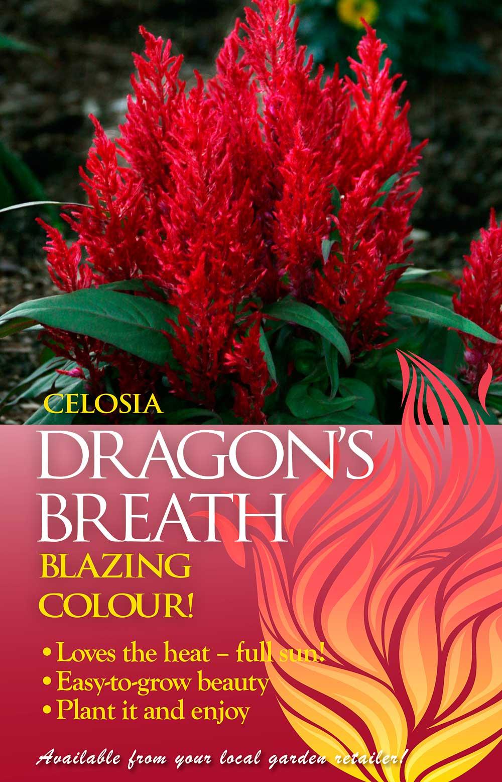 Celosia Dragons Breath Advert