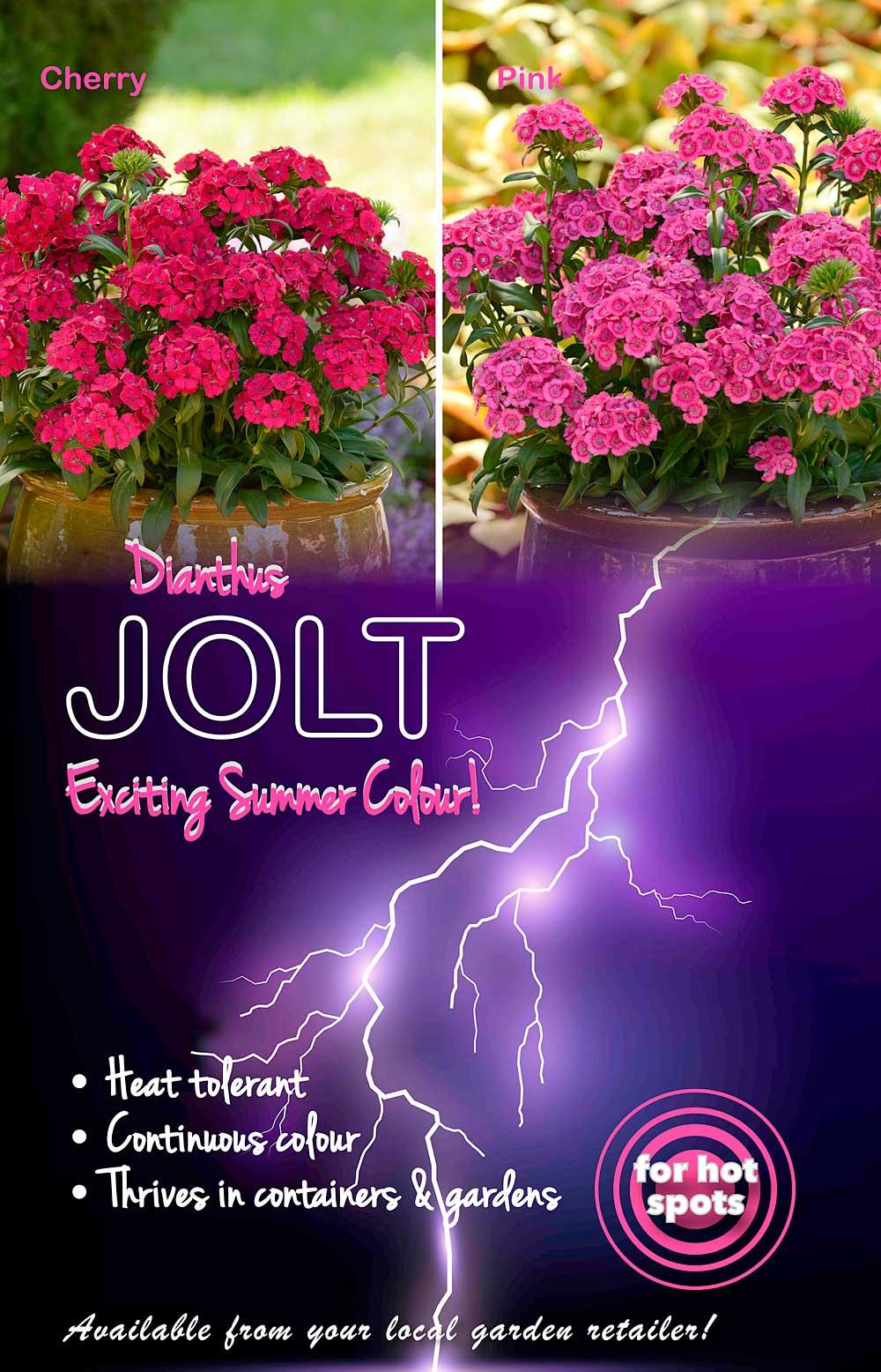Dianthus Jolt Advert