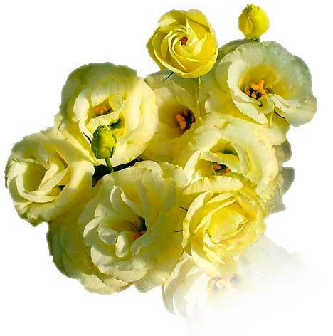 Cut Flowers - Yellow Lisianthus