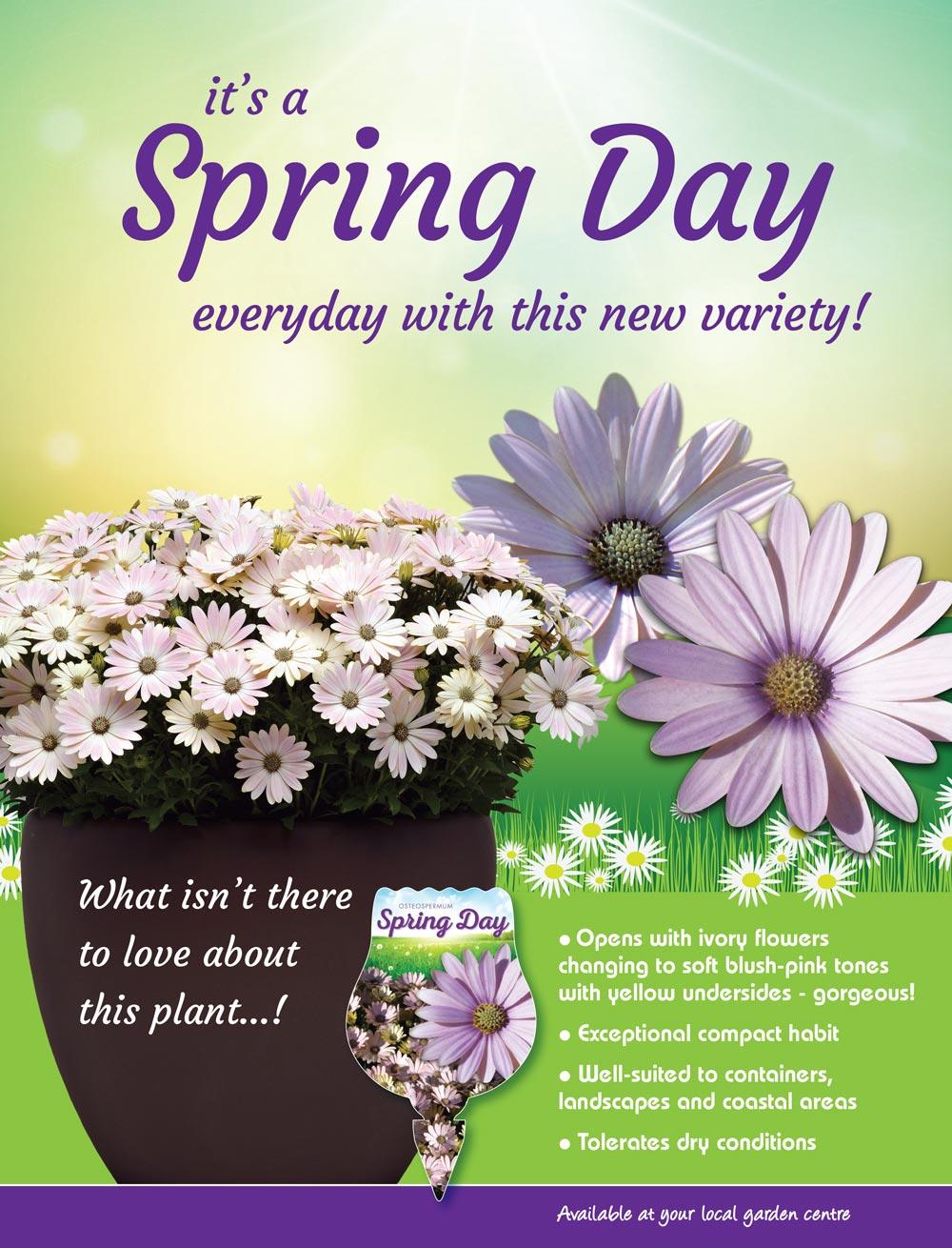 Osteospermum Spring Day